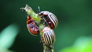 Colorado beetles eats stem of potato. Colorado potato beetles, plant pest, insects vermin