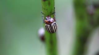 Colorado potato beetles, plant pest, insects vermin. Colorado beetles on potato plant