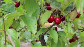 Cornel tree with red cornelian cherries