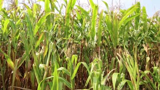 Cornfield video stock footage
