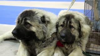 Couple of caucasian shepherd dogs