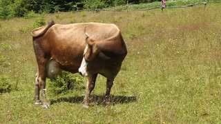 Cow video stock footage