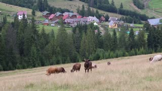 Cows on the grassland in Carpathian Mountains