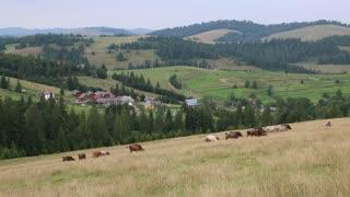Cows on the grassland in Carpatians in Ukraine