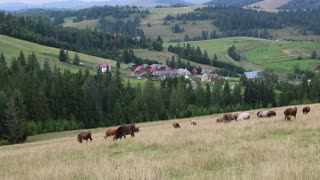 Cows on the grassland in Carpatians, Ukraine