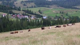 Cows on the pratum in Carpathian Mountains, Ukraine