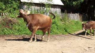 Cows video stock footage