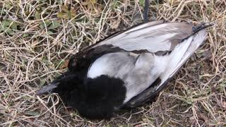 Dead bird. Dead magpie