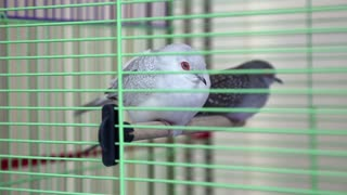 Diamond Turtledove birds in green cage