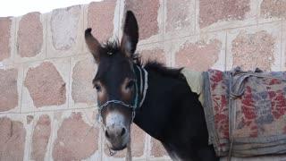 Donkey awaits passengers. Mount Sinai (Moses Mountain). Sinai peninsula, Egypt