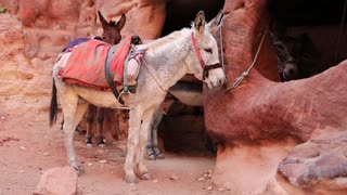 Donkey in ancient city of Petra, originally known to Nabataeans as Raqmu - historical and archaeological city in Hashemite Kingdom of Jordan