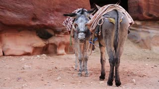 Donkeys in ancient city of Petra, originally known to Nabataeans as Raqmu - historical and archaeological city in Hashemite Kingdom of Jordan