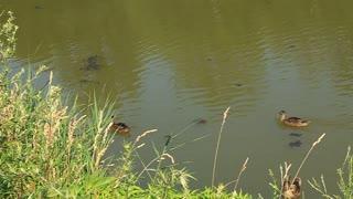 Ducks on lake video stock footage