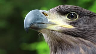 Eagle head close up. Female sea eagle, bird of prey
