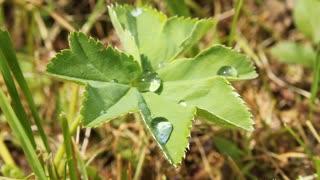 Early dew on green leaf