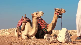Egyptian camels video stock footage