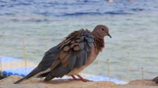 Egyptian pigeon prink