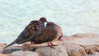 Egyptian pigeons prink