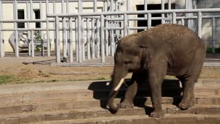 Elephant comes down the stairs at the zoo in Kiev, Ukraine
