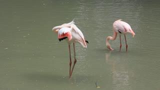 Flamingo on green lake
