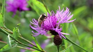 Flying insect sit on purple flower