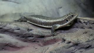 Gerrhosaurus - plated lizard in vivarium for reptiles. Gerrhosauridae - family of lizards native to Africa or Madagascar, live in a range of habitats, from rocky crevices to sand dunes