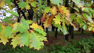 Green and yellow oak foliage