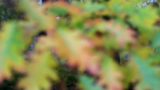 Green and yellow oak foliage