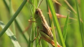 Green grasshopper in a grass