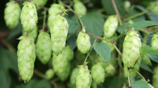 Green hop video stock footage