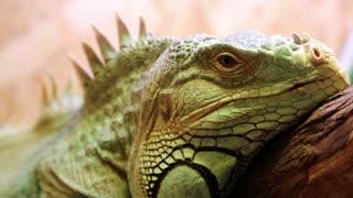 Green iguana video stock footage