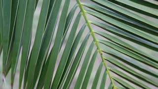 Green leaves of date palm