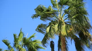 Green palms in Hashemite Kingdom of Jordan. Palms on blue background