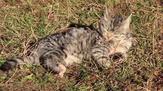 Grey kitten video stock footage