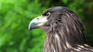 Head of sea eagle close up. Female sea eagle, bird of prey