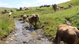 Herd of cows by small river