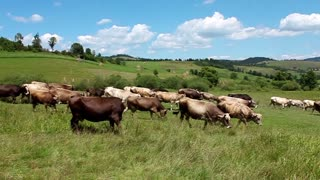 Herd of cows video stock footage