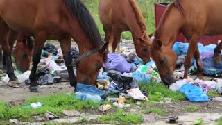 Horses eating household refuse at the dump
