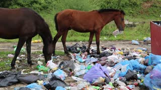 Horses eats food waste on the dump