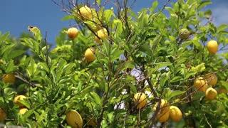 Lemon tree video stock footage