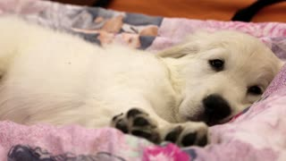 Little white dog sleeping on the bed