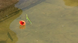 Lonely flower on the water