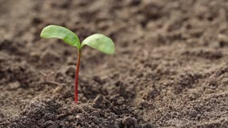 Man dig up by the roots a young plant from the soil. A man pulls out a young plant from the soil