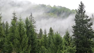 Mist among green coniferous trees