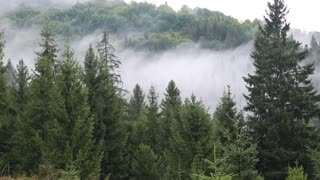Mist in a coniferous forest