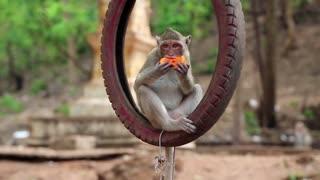 Monkey sitting inside the wheel and eats fruit, Thailand