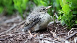 Nestling bird sitting on ground among grass, looking around. It is windy and sunny day. Wind moves its feathers