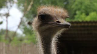 Ostrich (Struthio camelus). Flightless swift-running African bird with a long neck, long legs, and two toes on each foot. It is the largest living bird, with males reaching an average height of 8 feet (2.5 m)