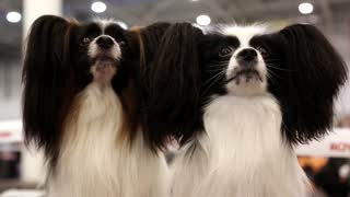 Papillon or Continental Toy Spaniel, is a breed of dog of Spaniel type