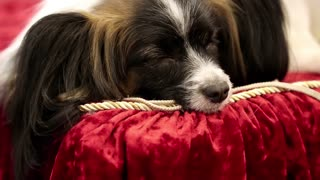 Papillon or Continental Toy Spaniel or Butterfly Dog, is a breed of dog of Spaniel type